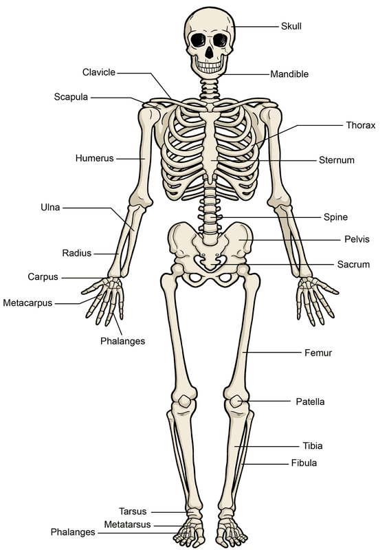 skeletal and muscular system - avs-science, Muscles